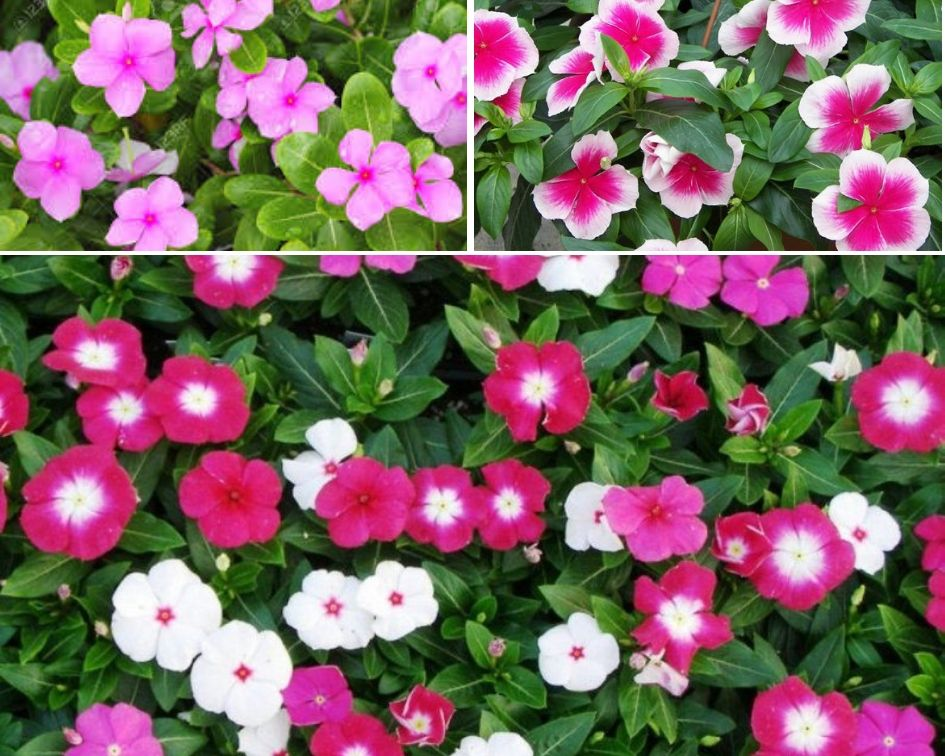 Periwinkle - 10 low maintenance plants you can grow-