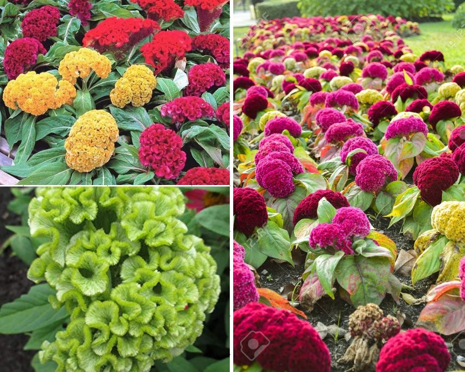 Cockscomb - 10 low maintenance plants you can grow