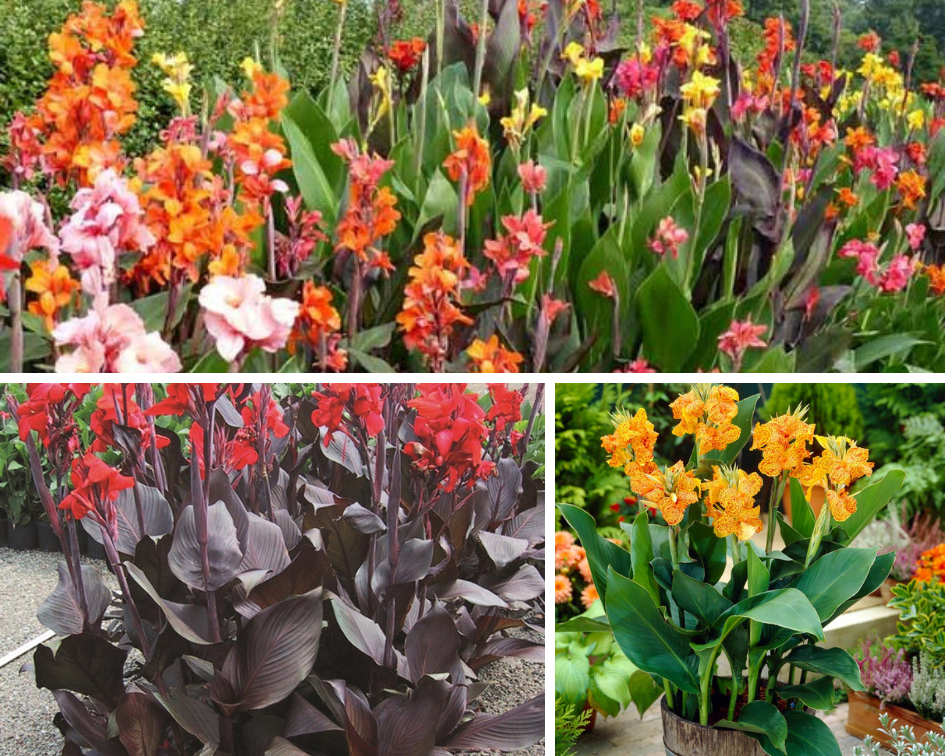 Canna - 10 low maintenance plants you can grow