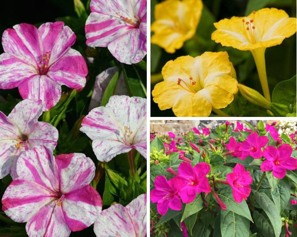 Mirabilis Jalapa - 10 low maintenance plants you can grow-