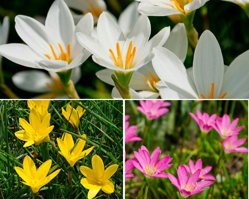 Rain lilies - 10 low maintenance plants you can grow-